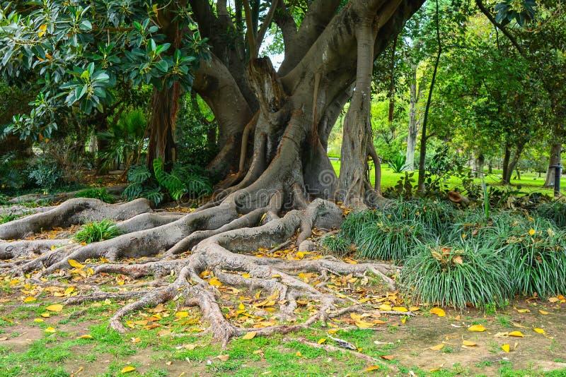 Ficus tropical avec des racines dans le jardin image stock