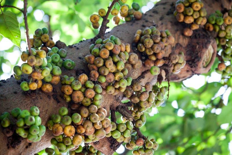 Ficus variegata owoc w drzewnym bagażniku zdjęcia stock