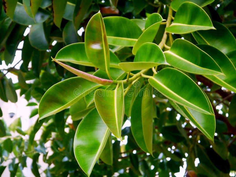 Ficusbaumwurzeln mit Niederlassungen und Blättern im Garten lizenzfreie stockfotos