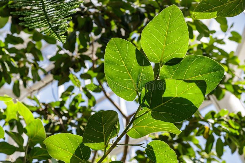 Ficusbenghalensis is van India en het Himalayagebergte Grote groene bladeren van ficus royalty-vrije stock fotografie