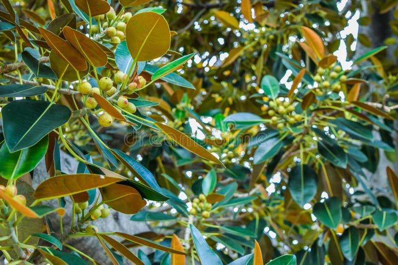 Ficusblätter ist alter Moreton-Bucht-Feigen-Ficus buchstäblich mit Beverly Hills im Laufe der Jahre gewachsen lizenzfreie stockfotografie