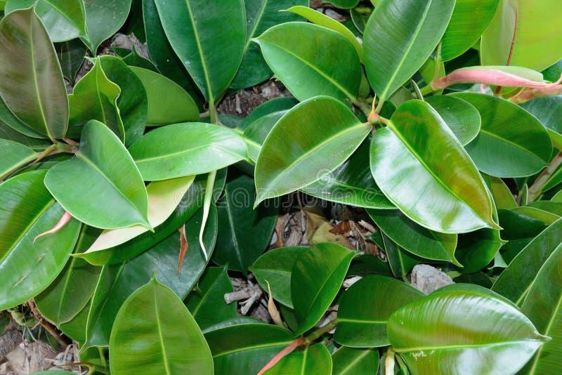 Ficusblätter schließen oben lizenzfreie stockbilder