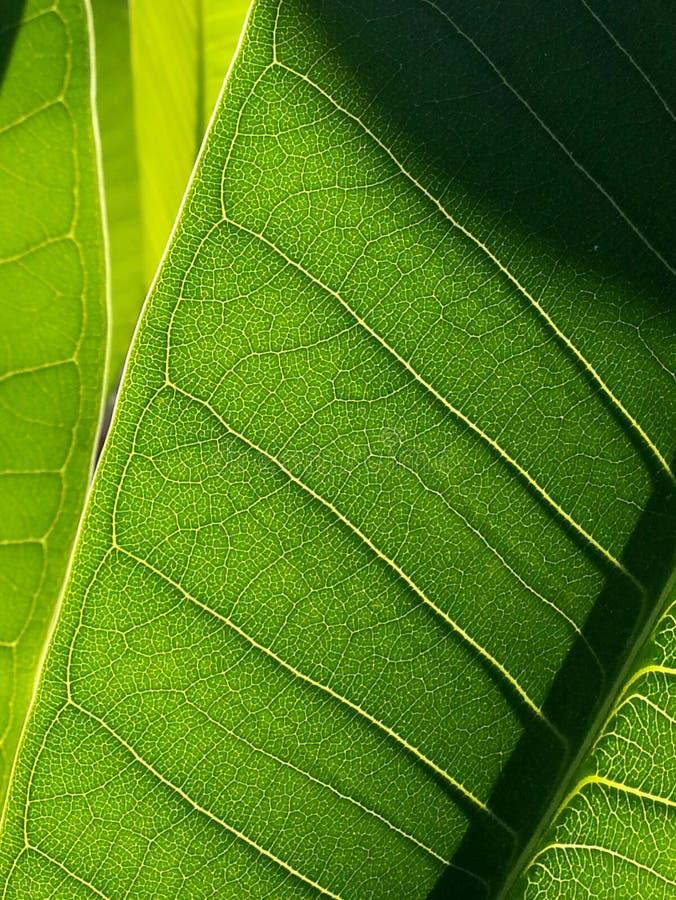 Ficusblatt stockbild
