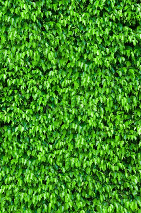 Ficusbuschhintergrund stockfotografie