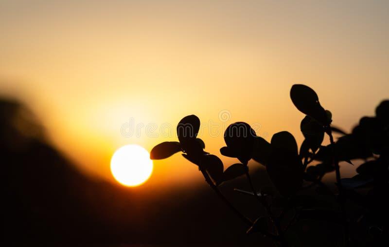 Ficusinstallatie tegen een zonsondergang wordt geplaatst die royalty-vrije stock afbeeldingen