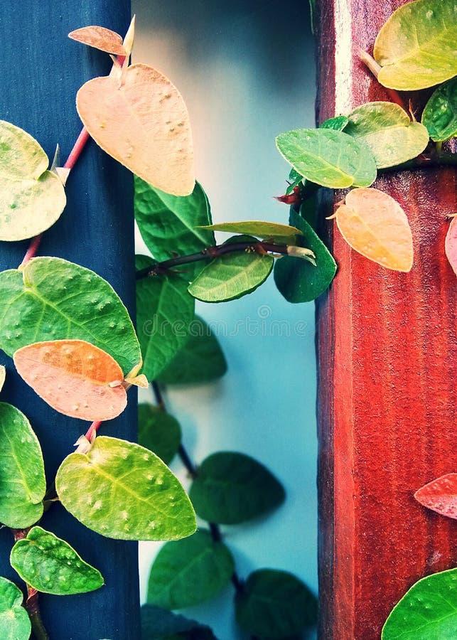 Ficuspumila is species van bloeiende installatie in de familie Moraceae, inwoner aan Oost-Azië Het is een bosrijke altijdgroene w royalty-vrije stock afbeeldingen