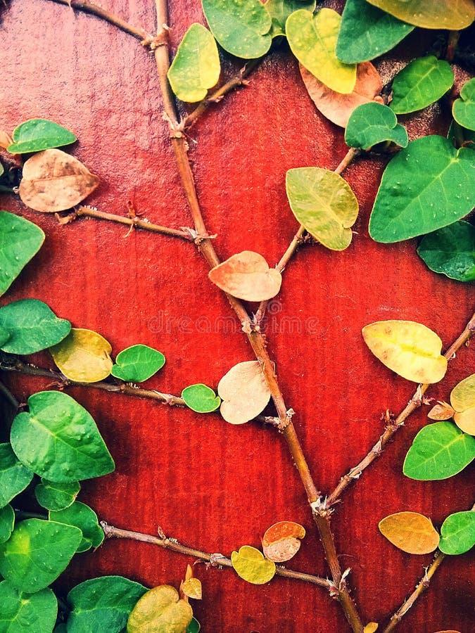 Ficuspumila is species van bloeiende installatie in de familie Moraceae, inwoner aan Oost-Azië Het is een bosrijke altijdgroene w stock afbeelding