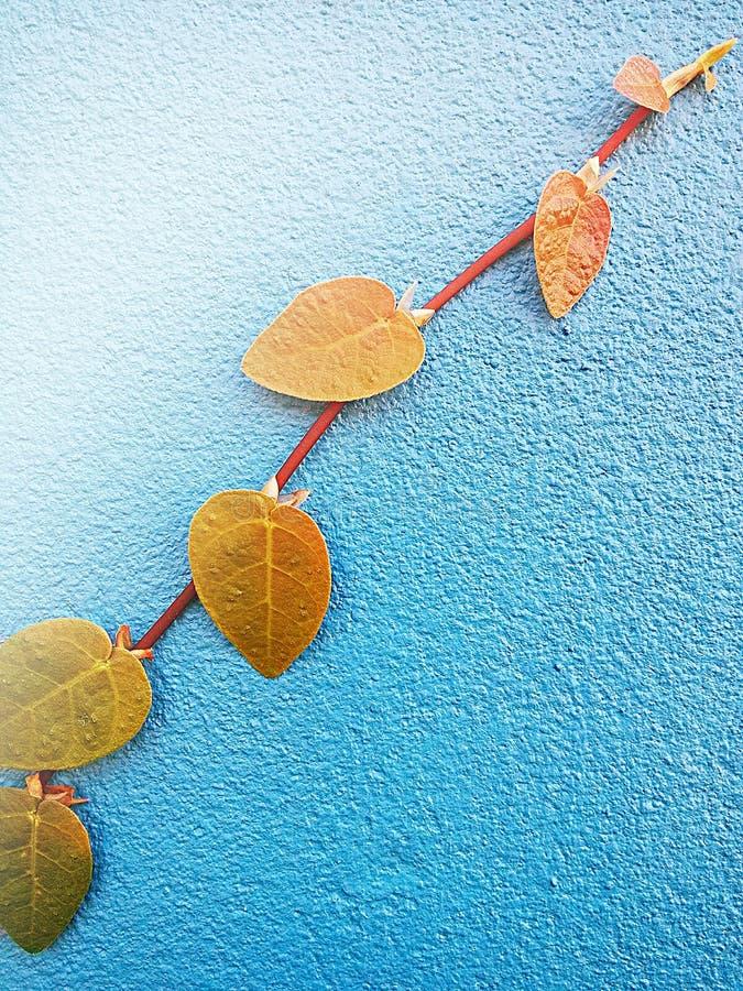Ficuspumila is species van bloeiende installatie in de familie Moraceae, inwoner aan Oost-Azië Het is een bosrijke altijdgroene w stock foto