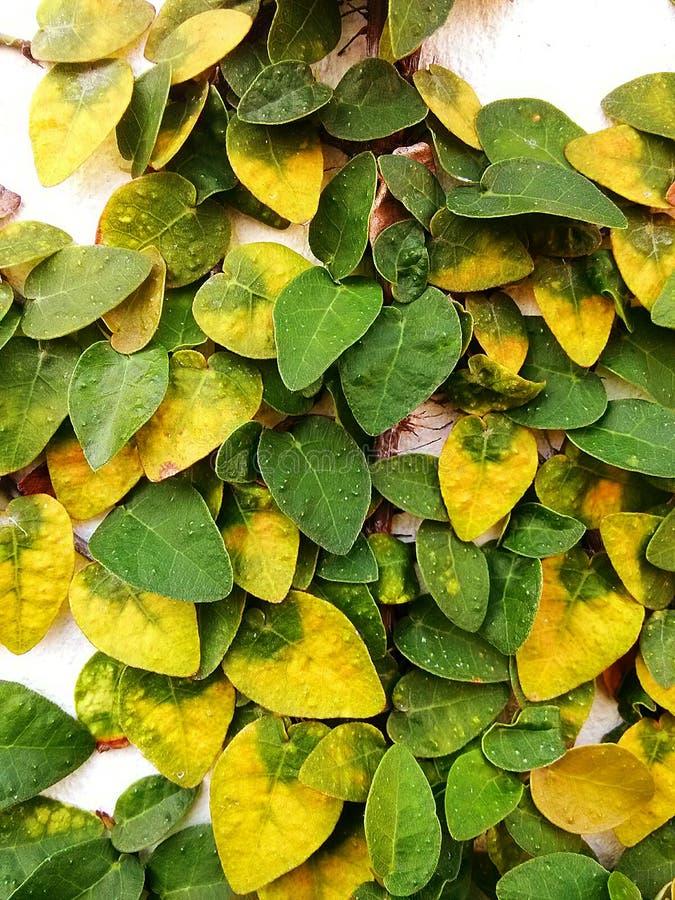 Ficuspumila is species van bloeiende installatie in de familie Moraceae, inwoner aan Oost-Azië Het is een bosrijke altijdgroene w royalty-vrije stock fotografie