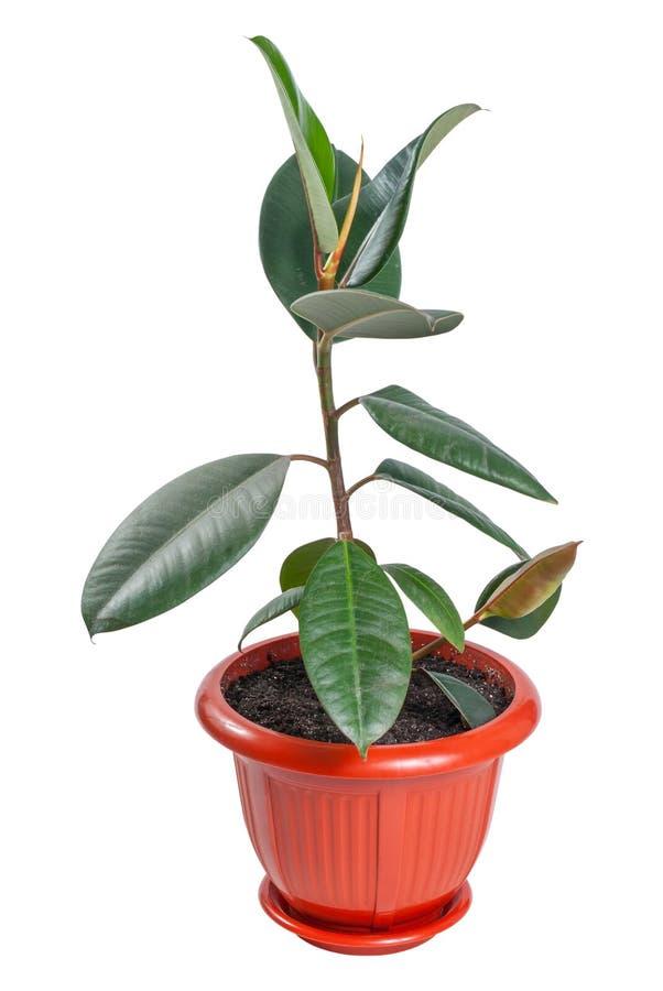 Ficussen in pot royalty-vrije stock fotografie