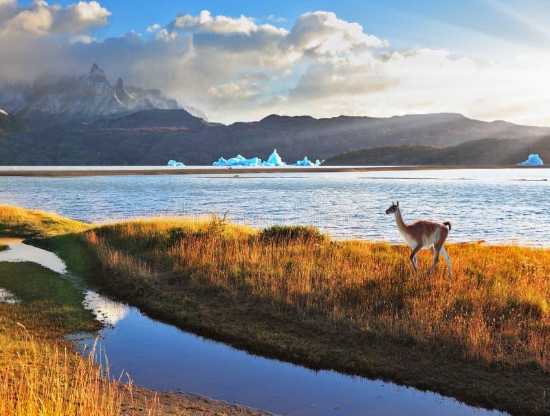 Fidarsi del guanaco sul Grey del lago. fotografia stock libera da diritti