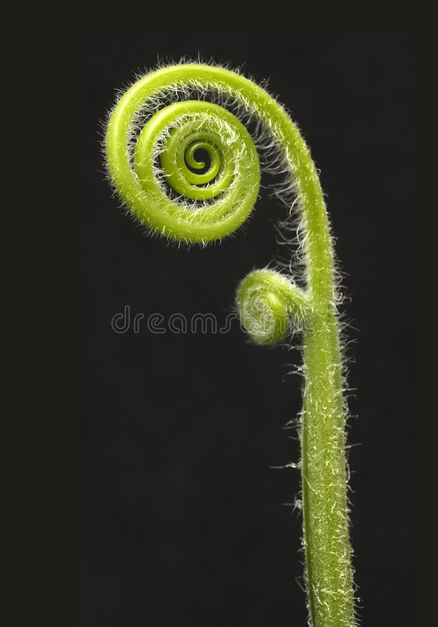 Fiddle head fern royalty free stock image