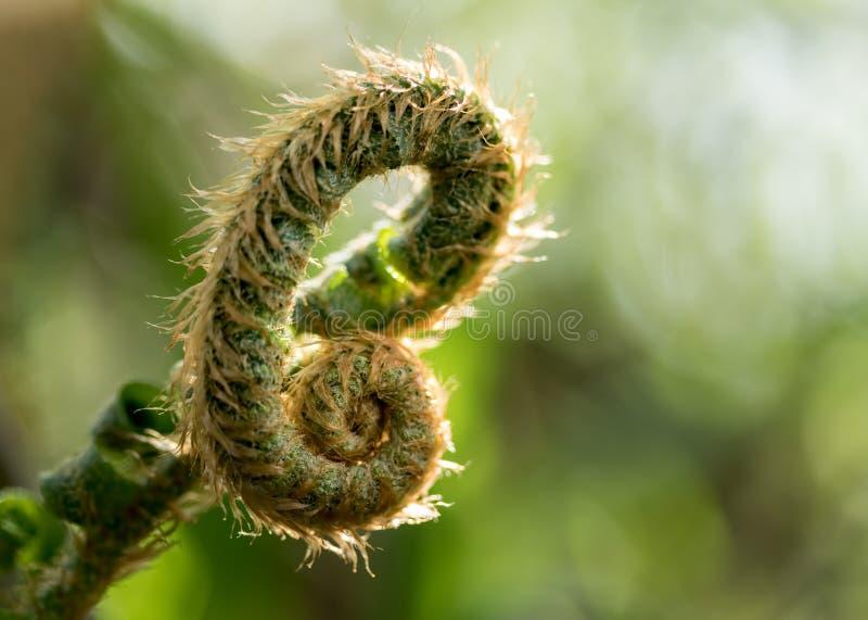 Fiddle Head Fern1. Sun shining behind a fiddlehead fern stock image