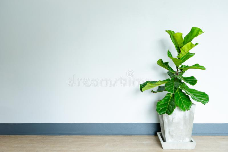 Fiddle leaf fig tree in the cement pot. Fiddle leaf fig tree in the cement pot in home stock photos