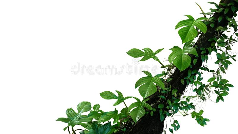 Fiddle leaf philodendron the tropical plant and jungle liana green leaves vines climbing on rainforest tree trunk isolated on royalty free stock photography