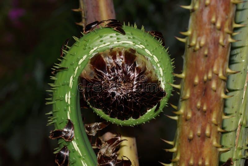 Fiddlehead del helecho, la más cloudforest tropical, Costa Rica imagen de archivo