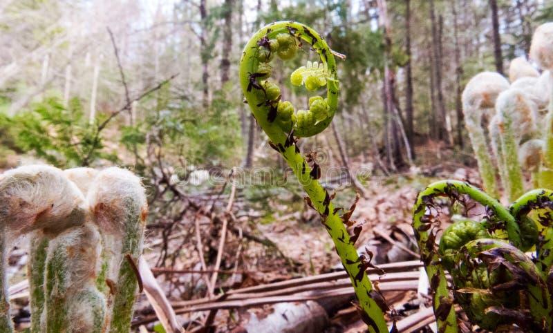 Fiddlehead recientemente fuera de la tierra canadiense imagen de archivo