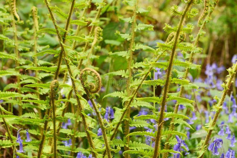 Fiddlehead uncurls at the top of a branch of lush green bracken. In selective focus against springtime bluebells royalty free stock images