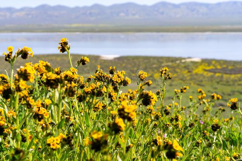 Fiddleneck Amsinckia wildflowers blooming in Carrizo Plain National Monument, Soda Lake and the valley visible in the background. California royalty free stock photo