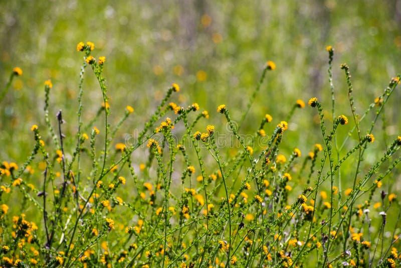 Fiddleneck (Amsinckiatesselata) vildblommor som blommar på en äng, grön bakgrund; södra San Francisco Bay område, Santa Clara fotografering för bildbyråer