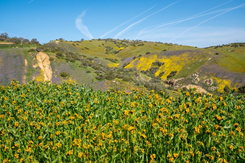Fiddlenecks wildflowers Amsinckia at Carrizo Plain National Monument in California during spring, with the San Andreas Fault in. Background royalty free stock images
