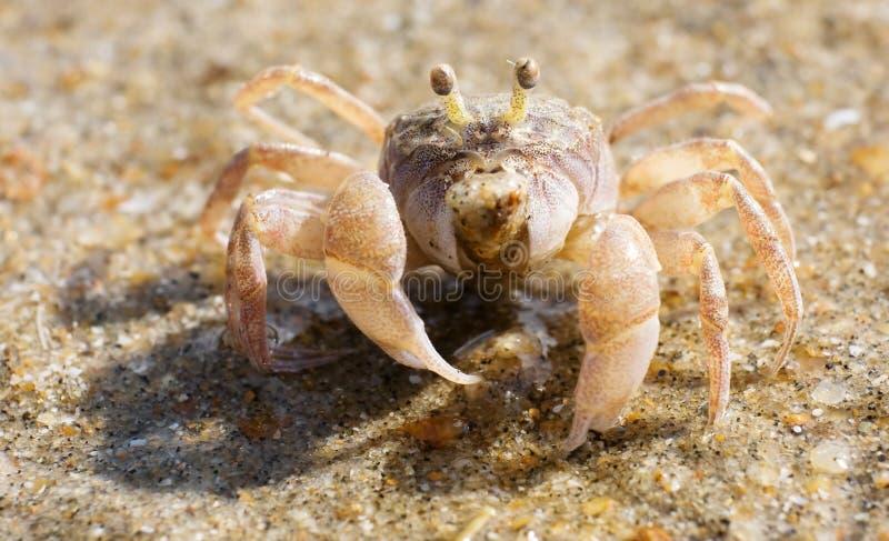Fiddler Crab. Macro of a Fiddler Crab