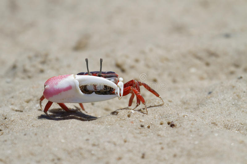 A fiddler crab attacks. A fiddler crab, sometimes known as a calling crab, is Found in mangroves, in salt marshes, and on sandy or muddy beaches stock photo