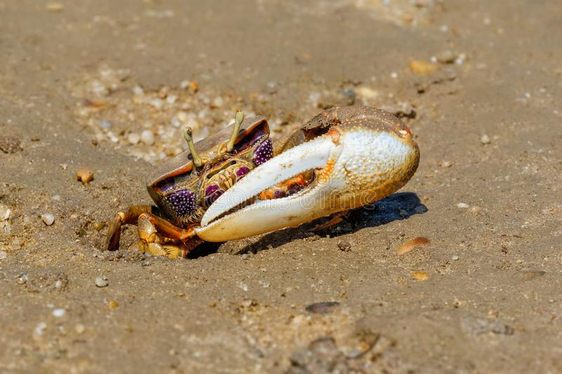 Fiddler Crab Male on the Ria Formosa, Portugal. A male Fiddler Crab about to disappear down its hole during low tide at the Ria Formosa Nature Park in the stock image