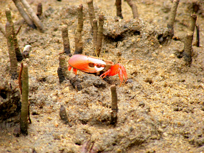 Fiddler Crab at Mangrove Forest