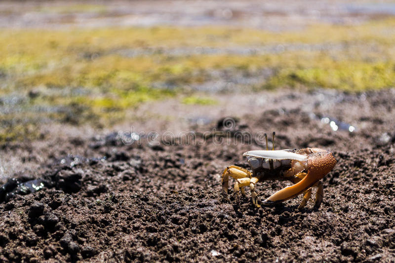 Fiddler crab in muddy sand in defense position stock photos