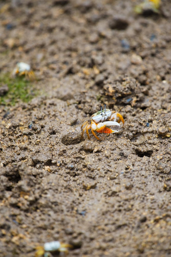 Fiddler crab-Uca vocans, Okinawa Prefecture/Japan royalty free stock images