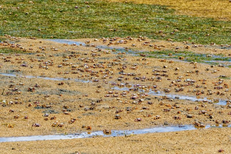 Fiddler Crabs on the Ria Formosa, Portugal. Just a small number of the thousands of Fiddler Crabs that can be seen at low tide at the Ria Formosa Nature Park in stock photos