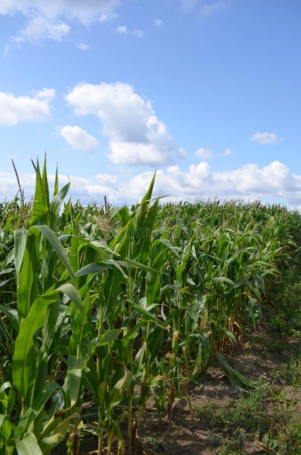 fied的玉米 库存照片