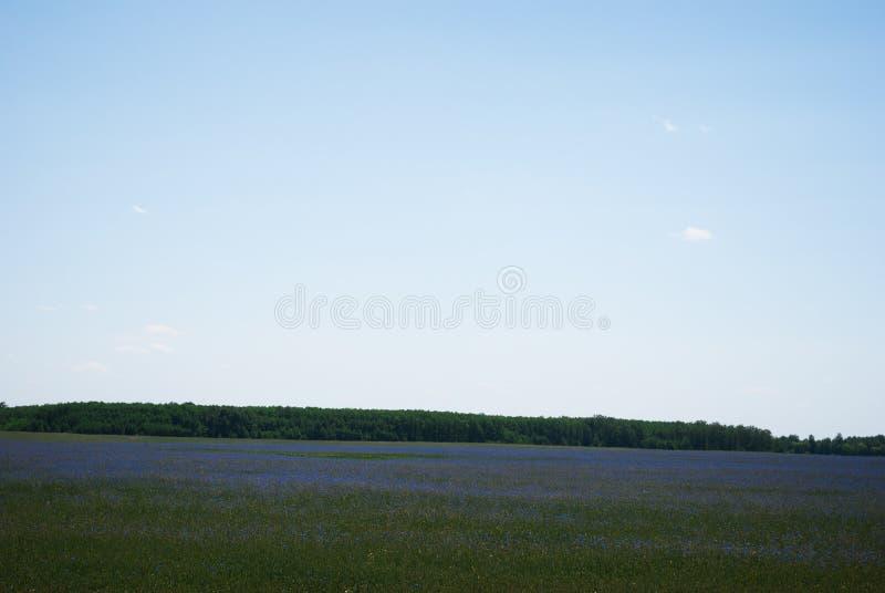 Field голубые cornflowers и море голубого неба стоковые изображения