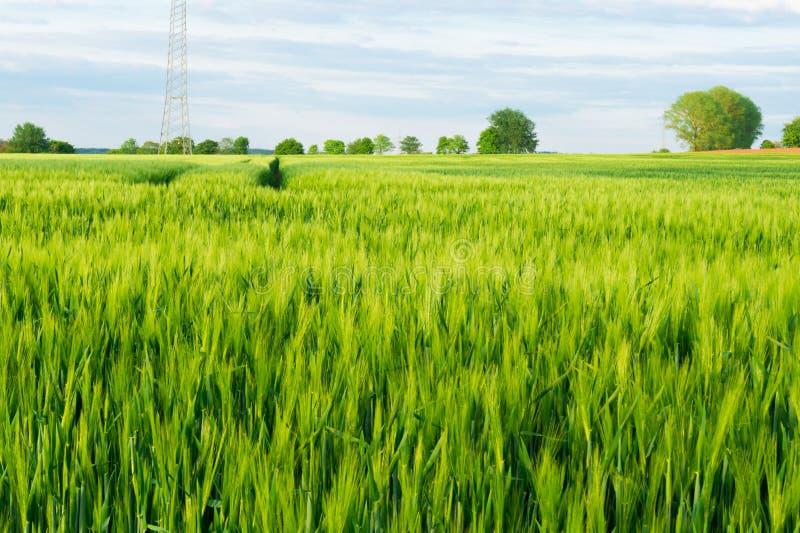 field детеныши пшеницы стоковое фото rf