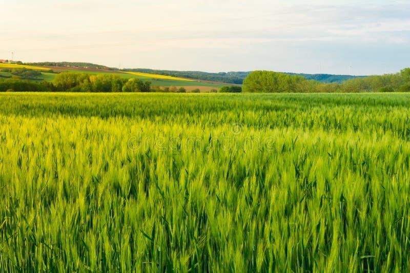 field детеныши пшеницы стоковое изображение