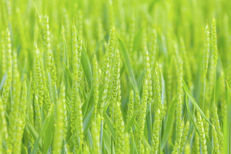 field зеленая пшеница стоковые изображения rf