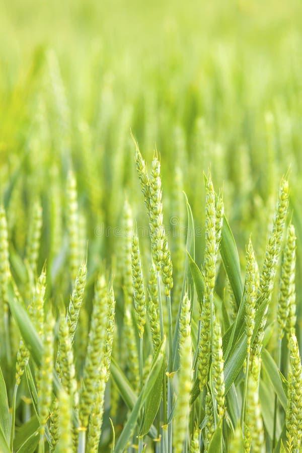 field зеленая пшеница стоковое изображение rf