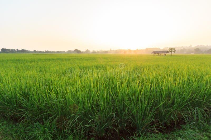 Download Field рис стоковое изображение. изображение насчитывающей листья - 41659931