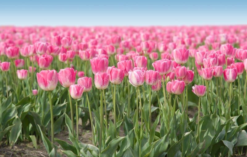field розовые тюльпаны стоковые изображения rf