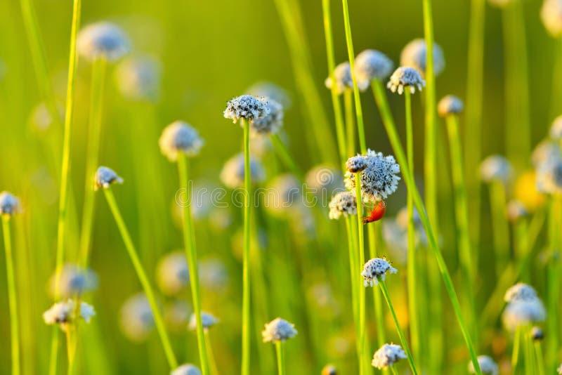 field цветок стоковые изображения