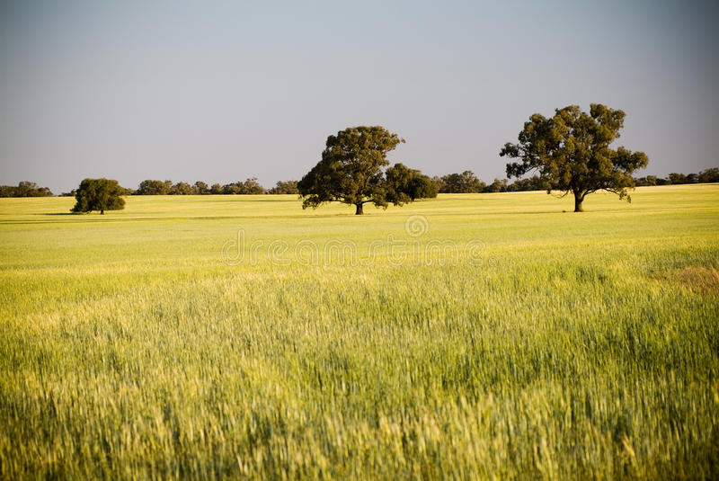 Field. Heads of golden grain stretch out in fields as dusk with 3 large trees in view stock photos