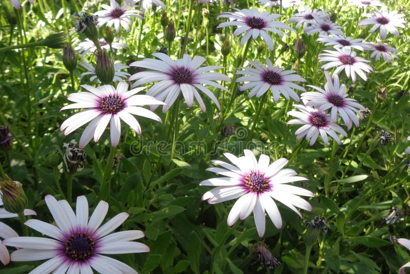 Field of African Daisies Osteospermum Dimorphotheca Ecklonis 3 royalty free stock images