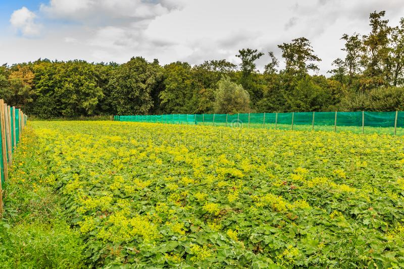Field with  Alchemilla mollis used as cutflower. Field with lady`s mantle, Alchemilla mollis, a perennial with soft hairy green leaves and soft yellow flowers royalty free stock images
