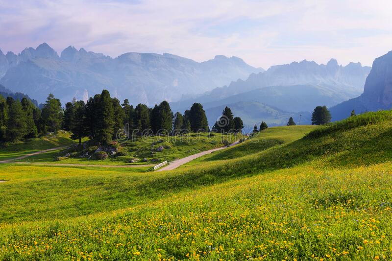 Field with alpine yellow flowers from Sella pass, Dolomites Alps, Italy, Europe. Field with alpine yellow flowers and mountains at background from Sella pass stock image
