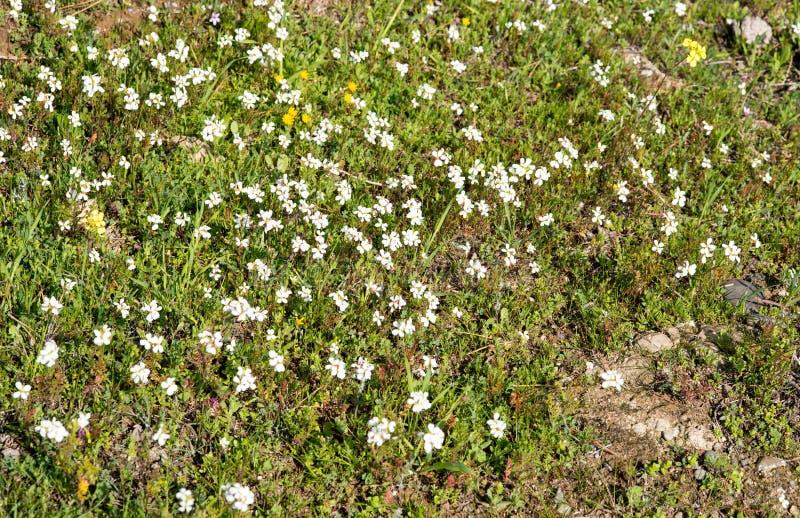 Field of argyranthemum white flowers stock images