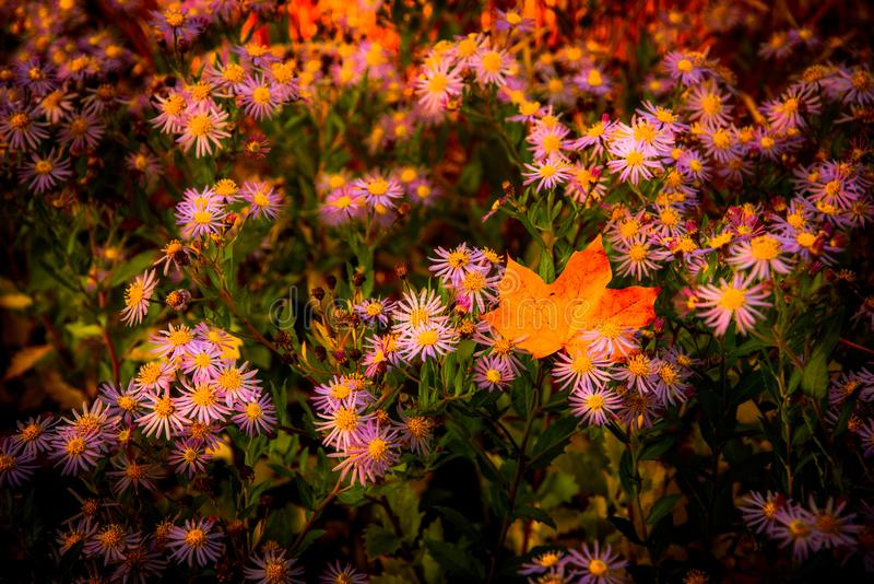 Field of asters with lone maple leaf stock images