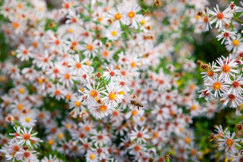 Field of autumn flowers, the Aster ericoides with honey bees. Background with selective focus stock photo