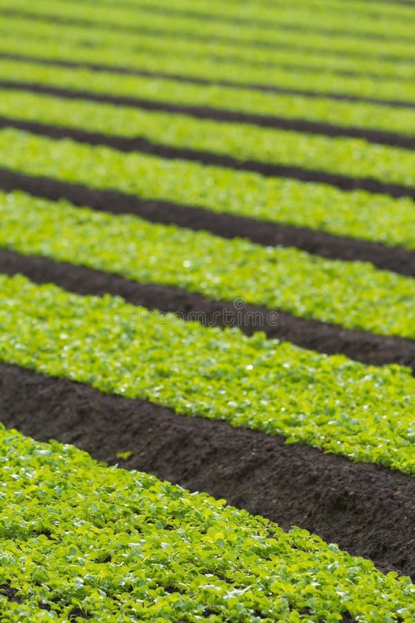 Field of baby lettuce leaf salad plants