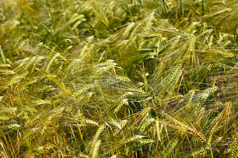 Download Field Of Barley Royalty Free Stock Photography - Image: 26868227